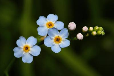 Photograph - Forget Me Not by Mike Farslow