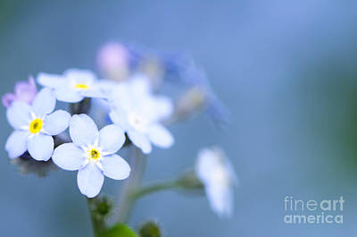 Flower Photograph - Forget-me-not On Blue by Oscar Gutierrez