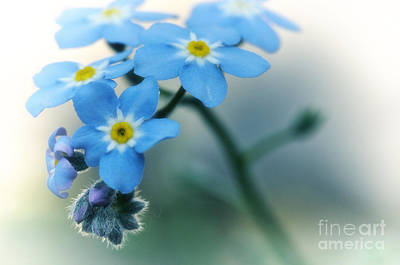 Photograph - Forget Me Not by Simona Ghidini
