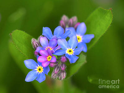 Photograph - Forget-me-not Stylized by Sharon Talson