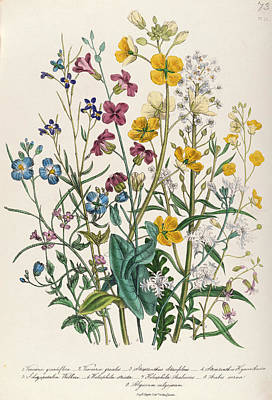 Forget Me Nots Wall Art - Photograph - Forget-me-nots And Buttercups, Plate 13 From The Ladies Flower Garden, Published 1842 Colour Litho by Jane Loudon