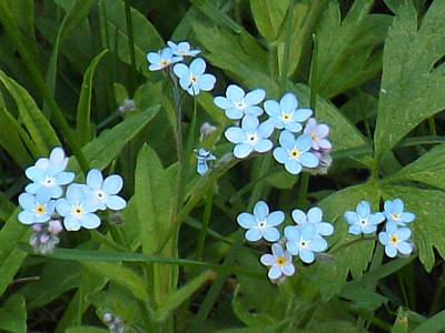 Photograph - Forget Me Nots by Brenda Brown