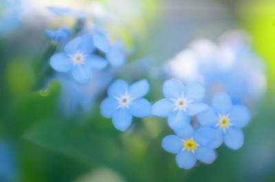 Forget Me Nots Wall Art - Photograph - Forget-me-nots (myosotis Arvensis) by Maria Mosolova/science Photo Library