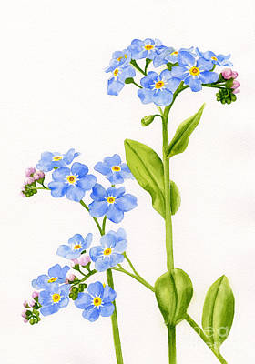 Watercolor Flower Painting - Forget-me-nots On White by Sharon Freeman