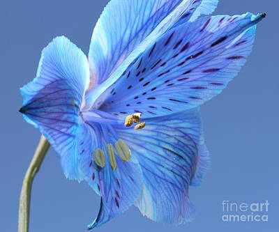 Blue Flowers Photograph - Forget Met Not by Krissy Katsimbras