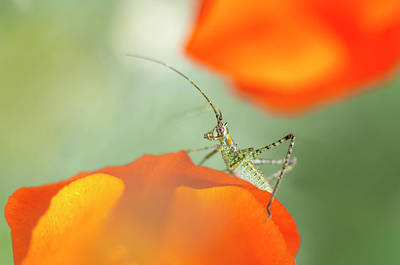 Katydid Photograph - Fork-tailed Bush Katydid Nymph by Rob Sheppard