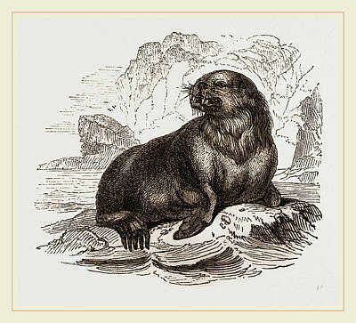 Sea Lion Drawing - Forsters Sea-lion by Litz Collection