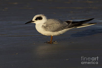 Photograph - Forster's Tern Photo by Meg Rousher