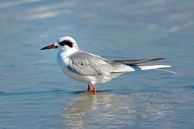 Forster's Tern Art Print by Rich Leighton