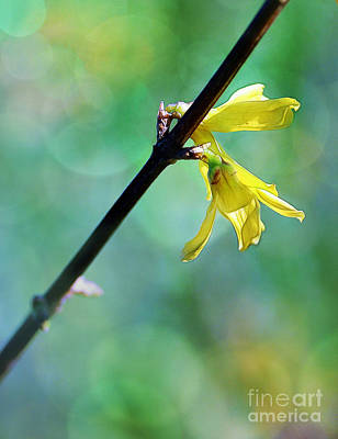 Photograph - Forsythia by Judi Bagwell
