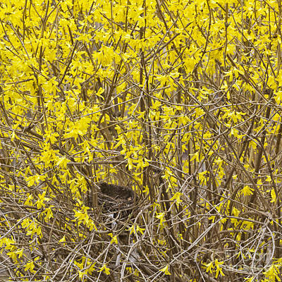 Photograph - Forsythia Nest by Alan L Graham