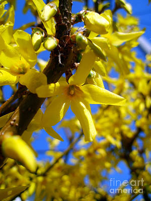 Photograph - Forsythia by Nina Ficur Feenan