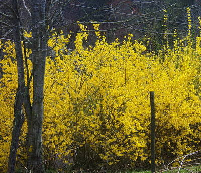 Photograph - Forsythia by Paula Tohline Calhoun