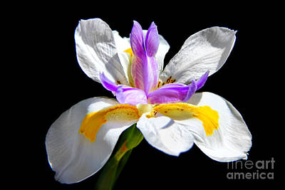 Fortnight Lily Print by Mariola Bitner