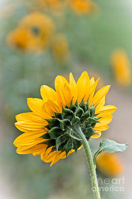 Photograph - Forward Facing Sunflower by Cheryl Baxter