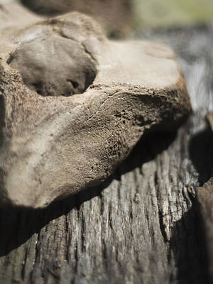 Photograph - Fossil Bone With Weathered Wood by Rebecca Sherman