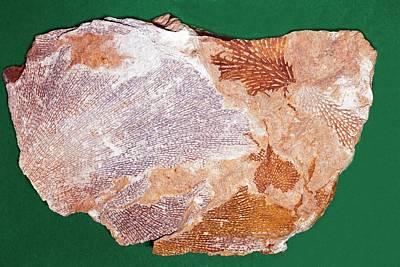 Fossil Bryozoans II Art Print by Dirk Wiersma