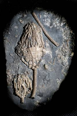 Limestone Quarry Photograph - Fossil Crinoid by Sinclair Stammers