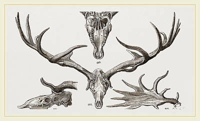 Fossil Drawing - Fossil Elk by Litz Collection