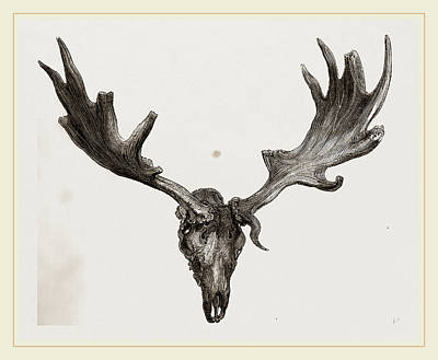 Elk Drawing - Fossil Elk Of Ireland by Litz Collection