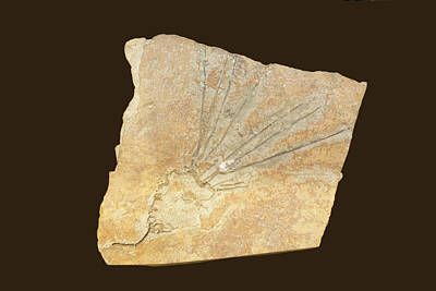 Crinoid Photograph - Fossil Eocrinoid Or Dawn Crinoid (gogia) by Science Stock Photography