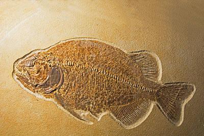 Photograph - Fossil Fish, Phareodus Encaustus by Millard H. Sharp