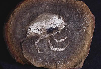 Photograph - Fossil Flea Shrimp by Louise K. Broman