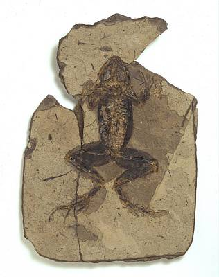Teruel Photograph - Fossil Frog by Science Photo Library
