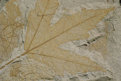 Clarkia Wall Art - Photograph - Fossil Maple Leaf by Theodore Clutter