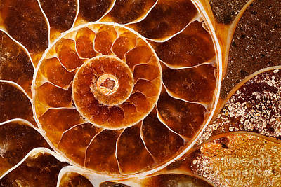 Photograph - Fossil Nautilus by Alice Cahill