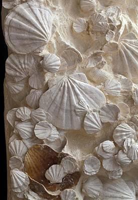 Miocene Photograph - Fossil Pecten Shells by Dirk Wiersma