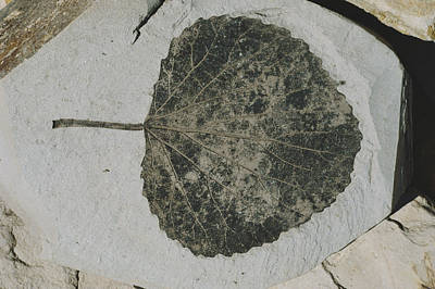 Clarkia Wall Art - Photograph - Fossil Poplar Leaf by Theodore Clutter