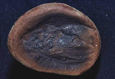 Photograph - Fossil Roach by Louise K. Broman