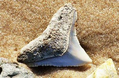 Photograph - Fossil Shark Tooth by Millard H Sharp