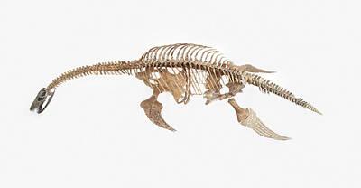 Plesiosaur Photograph - Fossil Skeleton Of Plesiosaur by Dorling Kindersley/uig