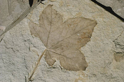Clarkia Wall Art - Photograph - Fossil Sweetgum Leaf by Theodore Clutter