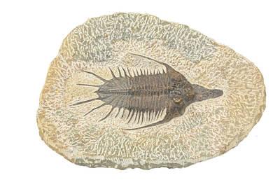 Trilobite Photograph - Fossil Trilobite (psychopyge Elegans) by Science Stock Photography
