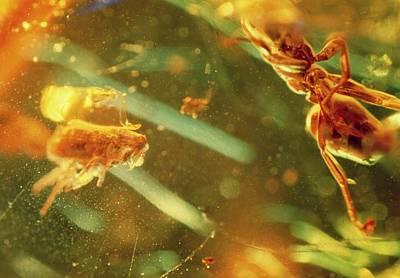 Fossilised Flea In Amber Art Print by K. H. Kjeldsen/science Photo Library