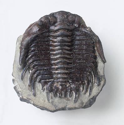 Trilobite Photograph - Fossilised Trilobite Exoskeleton by Dorling Kindersley/uig