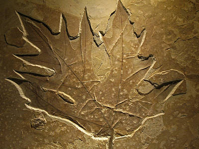 Photograph - Fossilized Maple Leaf by Connie Fox