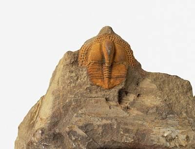 Trilobite Photograph - Fossilized Onnia Trilobite by Dorling Kindersley/uig