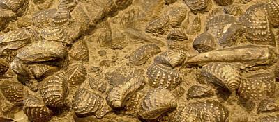 Shells Digital Art - Fossilized Shells by Gina Dsgn