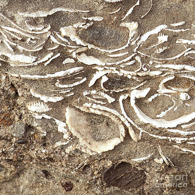 Photograph - Fossils Layered In Sand And Rock by Artist and Photographer Laura Wrede