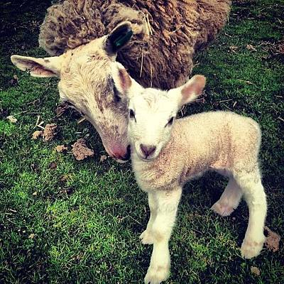 Sheep Photograph - Found This One Last Night #sheep #lamb by Tahlia Paige
