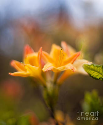 Rhodies Photograph - Fountain Of Gold by Mike Reid