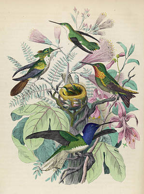 Hummingbird Drawing - Four Adult Hummingbirds With Chicks by Mary Evans Picture Library