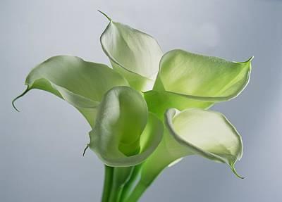 Four Arum Lilies Art Print