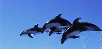 Four Bottle-nosed Dolphins Tursiops Art Print by Panoramic Images