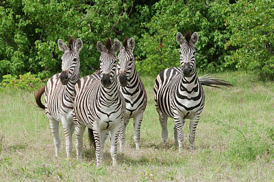 Four Burchell's Zebras On Alert Art Print by Jan and Stoney Edwards