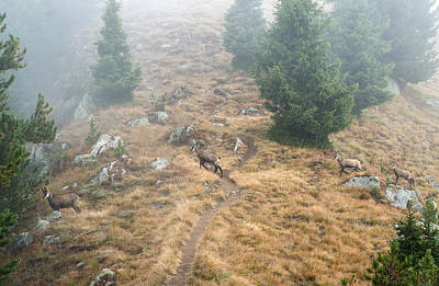 Photograph - Four Chamois Crossing A Forest Path In The Swiss Alps by Matthias Hauser